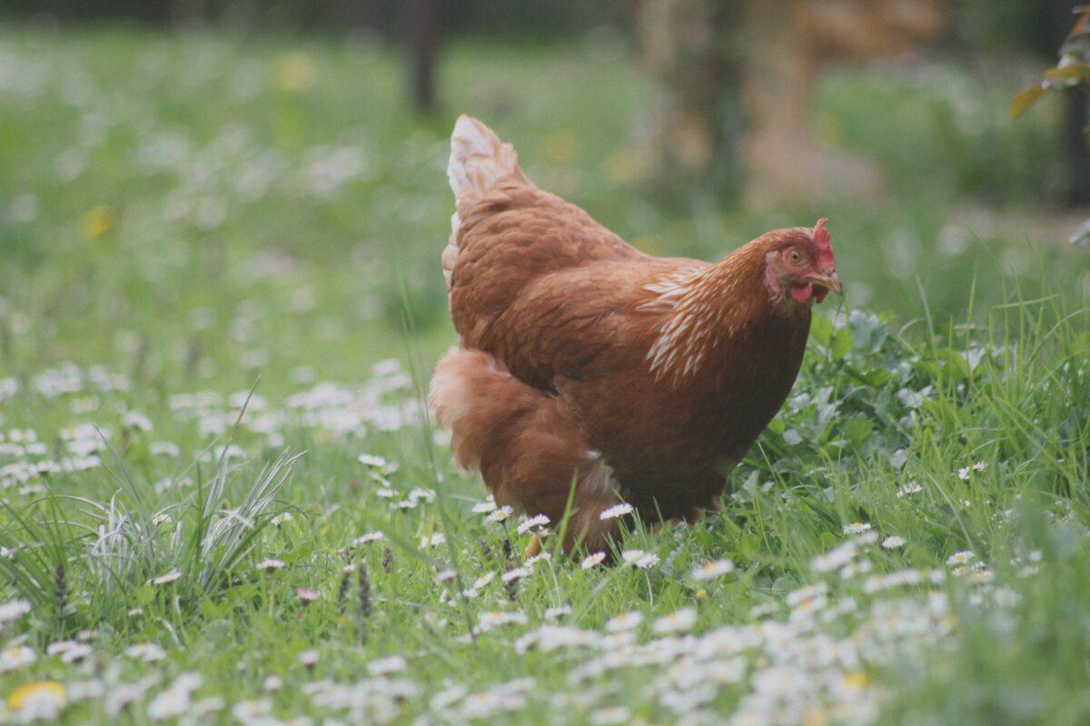 Ametller Origen es compromet a vendre ous de gallines lliures de gàbies abans de 2025